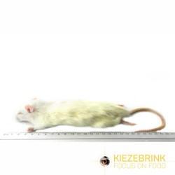 Rats de petite taille 90-150 g, carton de 10 kg