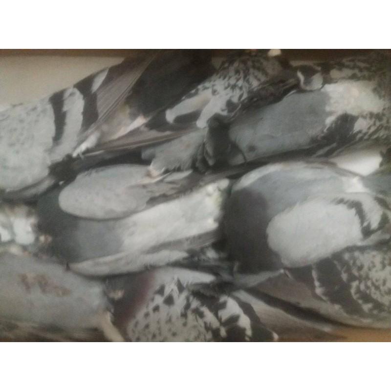 Pigeon - 1 pièces